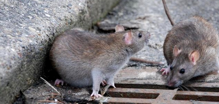 Prognosi di sette giorni per l'operaio Ato di Capaci assalito dai topi